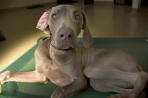 work, dogs, perry, scotch, Centinela Feed, daycare, playing, resting,weimaraner